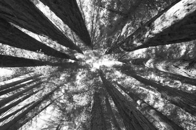 Which Way is Up ?... California Redwoods taken in Mill Valley-Marin County...(B & W)