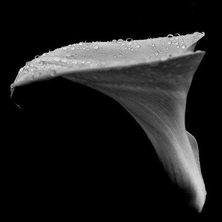 """Winter Lilly"".  Macro Photography focusing on water beads.  Image was taken outside in natural light, then converted to black and white."