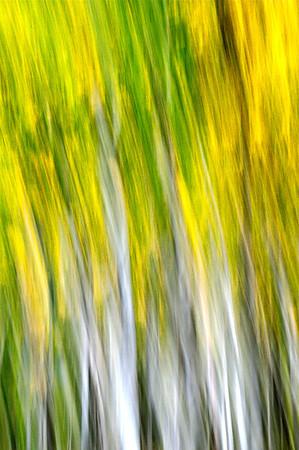 Abstract Aspen Tree Swipe. Utah backcountry.