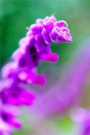 Purple Passion. Macro Flower image along the Big Sur Coastline.