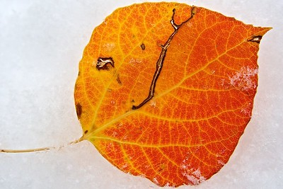 An orange and red aspen leaf in the snow, along Old Flowers Road, Colorado.  October 2011.