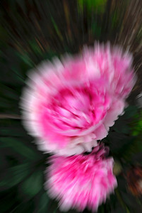 Abstract of pink peonies - Amesbury, England