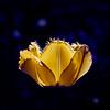 Lone Yellow Flower