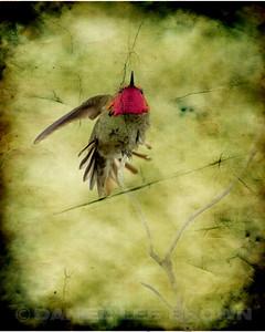 Anna's Hummingbird composite.
