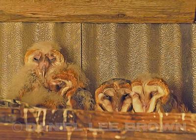 BARN OWLETS #3