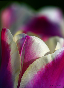 Tulip, purple, abstract, flower, spring, bloom, bud, macro, close up