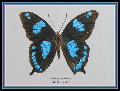 1-Citrus Swallowtail, Papilio manlius, Mauritius  140x190mm, watercolor, acrylic & ink, sep 7, 2018 Martine Orian-julien, Auriole, FranceDSCN9747A