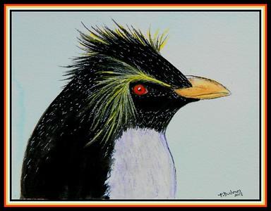 ##-1 Southern Rockhopper, Pamela Q  Jelbes, Falklands Conservation Office, Stanley, june 28, 2019