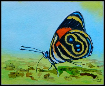 Emerald Valley, Honduras - Blue-and-orange Eighty-eight, Callicore tolima peralta.150x115mm, watercolor, acrylic & ink, may 8, 2018, Adopted by  Robert Gallardo, Honduras, may 11, 2018. Rec'd OK