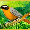 White-browed Robin-chat, 6x9, watercolor, feb 23, 2017 Dscn99081