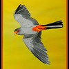 1 1-Amur Falcon, 10x14, watercolor, june9, 2016 DSCN9959-A