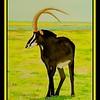 1-Black Sable, Chobe River, Botswana, 10x14, watercolor, sep 22, 2017 DSCN996211