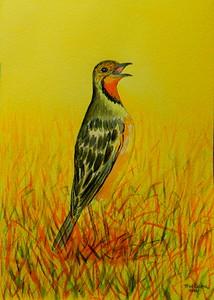 Cape Longclaw, 5x7, watercolor, june 15, 2016 DSCN9994-1