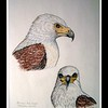 1993 African Fish Eagle-two views, color pencil, 8 5x11, sep 30, 1993a