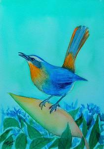 Cape Robin Chat, 5x7, watercolor, june 14, 2016 DSCN9982A
