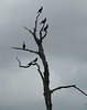 ...cormorants at armand bayou near houston...