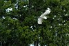 ...egret at caddo lake (east texas and texas' only natural lake)...