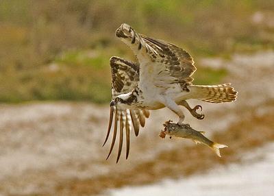 ...osprey at aransas pass texas....