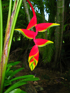 Lobster Heliconia