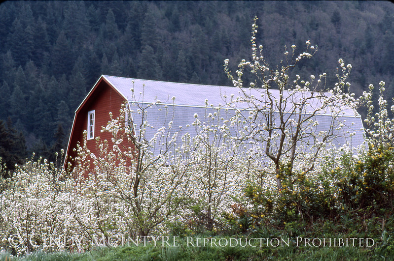 Cherry Trees, Hood River OR copy