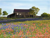 Barn, Bluebonnets and Paintbrush
