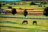 Pastoral in Green - Amish farmland and horse pasture, Pennsylvania