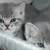 Home bred British Shorthair Kittens.