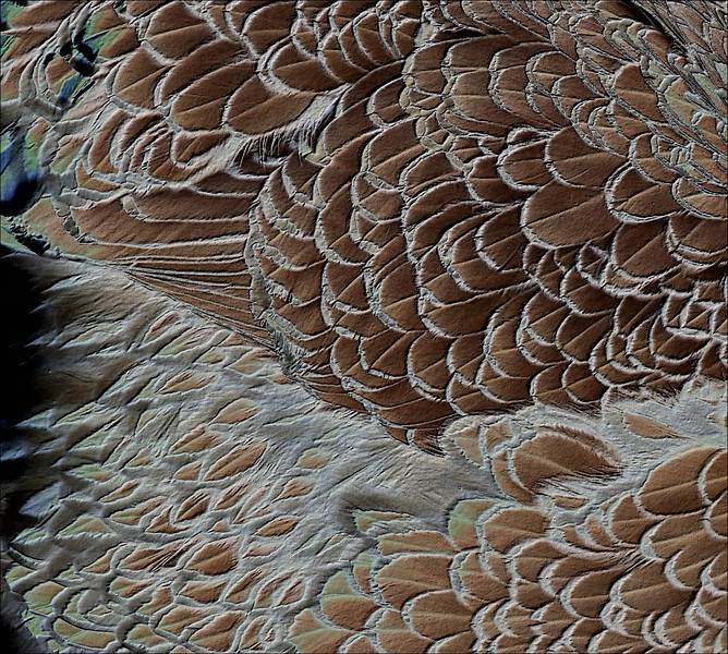 Beautiful plumage on a fancy chicken.