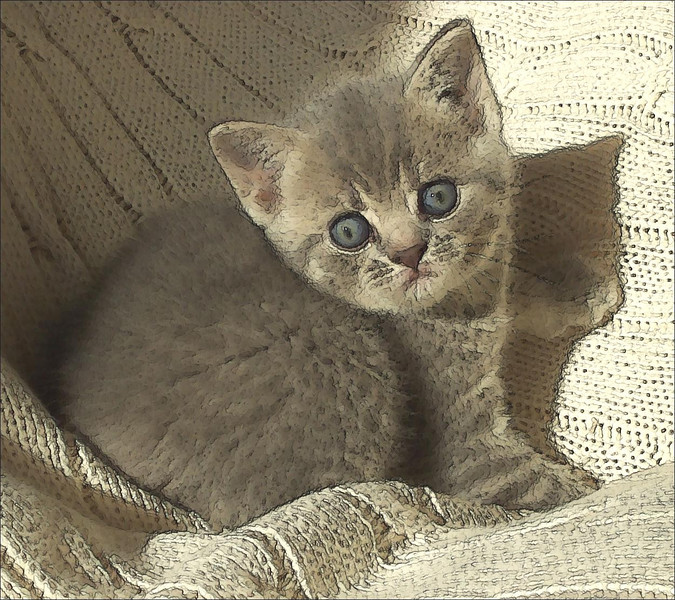 Home bred British Shorthair kitten.  (I love the texture of the knitted throw in this image.)