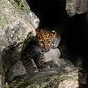 Amur Leopard female cub, Kiska.  Taken at Marwell Zoo and now residing at Dortmund Zoo.