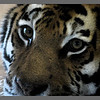 Siberian tiger at Marwell Zoo.