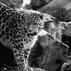 Amur leopard at Marwell Zoo.