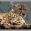 Cheetah at Marwell Zoo.