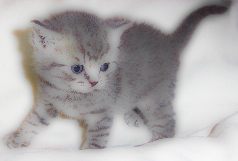 Home bred British Shorthair kitten.