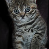 Home bred British Shorthair kitten.