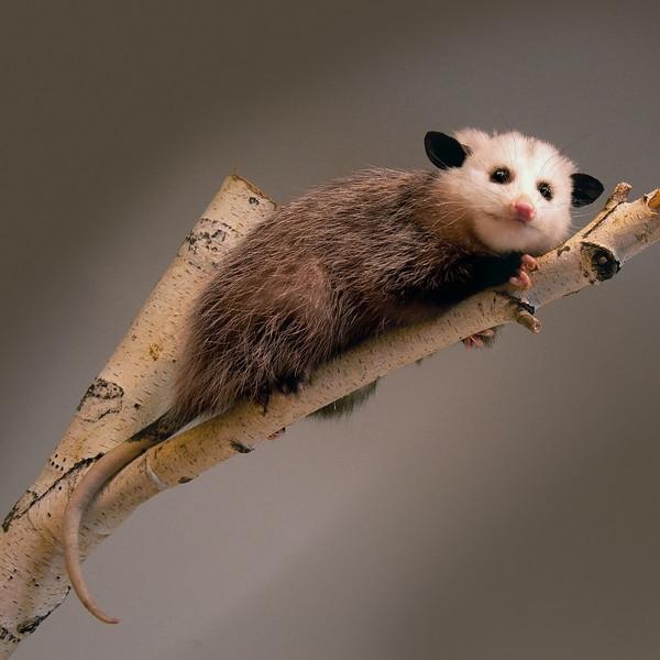 110129 7358 Opossum ed