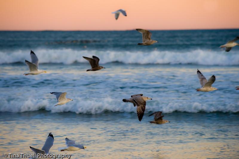 Seagulls swarming Eastons Beach,  NEWPORT RI