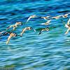 Sandpipers, swooping over the water, NEVIS WI