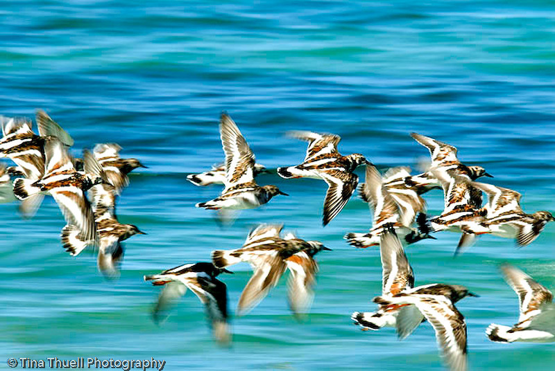 Sandpipers, NEVIS WI