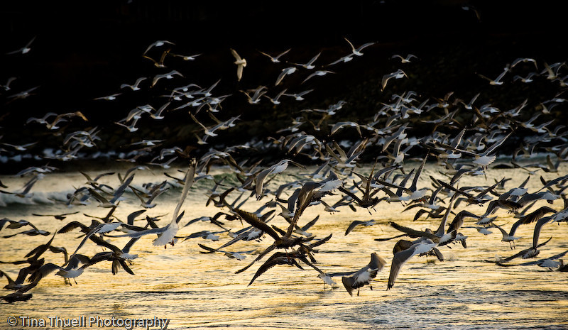 Seagulls on Eastons Beach, NEWPORT RI