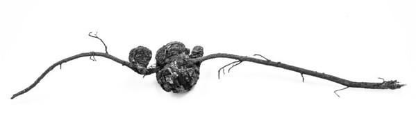 Root Burl