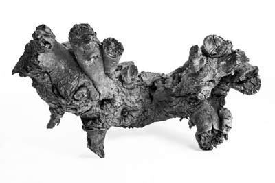 Mulberry Stump