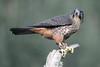 Karearea NZ Falcon