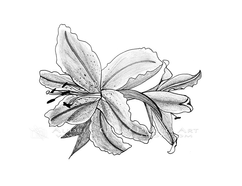 Ink and pencil lilies