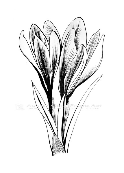 Ink and pencil crocuses