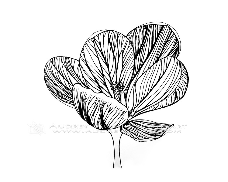 Ink and pencil crocus