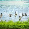 ducks_geese