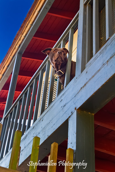 Dog looking at the view in St Augustine FL