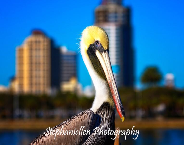 Pelican, St. Petersburg, Florida