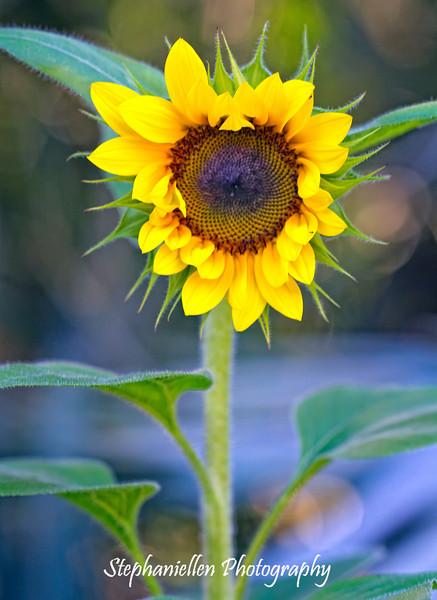 Heart-Shaped Sunflower